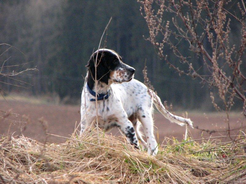 Feleen na lovu bažanta