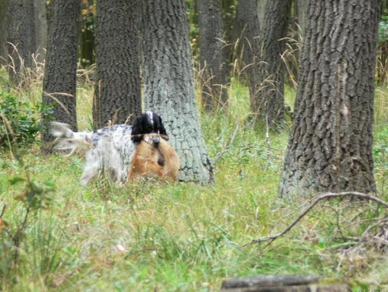 Feli - návrat z vlečky s liškou